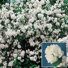 Double Mock Orange - Michigan Bulb