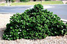 Going to plant these soon.  Desert Horizon Nursery » Boxwood Beauty Natal Plum