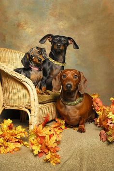 The best gift is you #lovedachshund <3