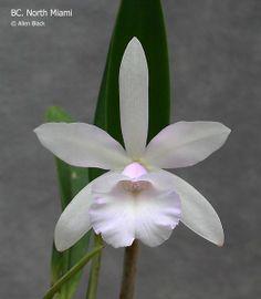 Orchid-Hybrid Bc: BrassoCattleya 'North Miami' (Brassavola nodosa X Cattleya loddigesii); By Allen Black