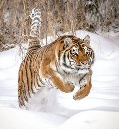 Tiger Leap by Athena Mckinzie Pet Tiger, Bengal Tiger, Tiger Cubs, Bear Cubs, Nature Animals, Animals And Pets, Wild Animals, Big Cats, Cool Cats