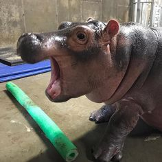 Cute Hippo, Baby Hippo, Cute Baby Animals, Wild Animals, Beautiful Creatures, Animals Beautiful, Zoos In Ohio, All Animals Pictures, Fiona The Hippo