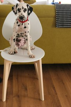 desire to inspire - desiretoinspire.net - Monday's pets on furniture - dalmation