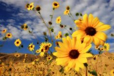Sunflowers by Gene Praag  Love the way he captured these!