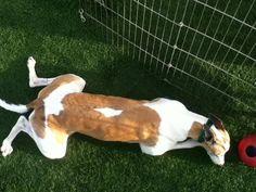 Home - Greyhound Adoption Center Adoption Center, Greyhounds, Corgi, Animals, Corgis, Animales, Animaux, Animal, Animais