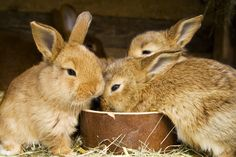 Rabbits for meat. Raising rabbits is one of the simplest things you can do on your homestead. Not only do they require little attention, but they also provide a great amount of meat. Rabbit Diet, Rabbit Farm, Rabbit Eating, Raising Rabbits For Meat, Meat Rabbits, Bunny Rabbits, Small Rabbit, Sustainable Farming, Rabbit Hutches