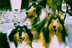 my Collies in 2001: Dolly, Shep, and Lassie