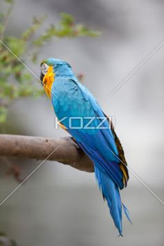 pet parrot standing on a branch - Blue and yellow pet parrot standing by a branch of tree.