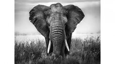 A portrait of an African elephant standing in the Serengeti grass. Encounters in Serengeti by Alberto Ghizzi Panizza from the Fine Art Wildlife Photography Collection at Canvas On Demand. Elefant Wallpaper, 3d Wallpaper, Photo Wallpaper, Photo Elephant, Elephant Face, Baby Elephant, Elephant Poster, Elephant Canvas, Ivory Trade