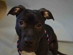 RETURNED!!! 6/28/16 PET HEALTH!! POOR LITTLE SWEETHEART!! - SUPER URGENT Manhattan Center - RTO SAFE ❤️ 2/23/16 Manhattan Center MINNIE – A1065067 FEMALE, BLACK / WHITE, AM PIT BULL TER MIX, 7 mos OWNER SUR – EVALUATE, NO HOLD Reason PERS PROB Intake condition EXAM REQ Intake Date 02/13/2016, From NY 10026, DueOut Date 02/13/2016, Urgent Pets on Death Row, Inc