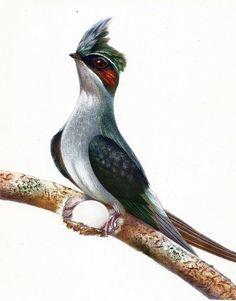 1950 Martinet à longue queue. Planche Originale Ancienne. Oiseaux de Paradis. Oiseaux Tropicaux. Illustration
