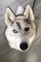 Siberian Husky Fitted With 3d Printed Titanium Skull Implant