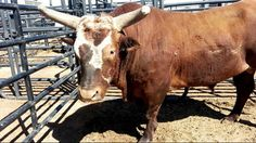 Bushwacker will put his record buckoff streak on the line this weekend in Tulsa.
