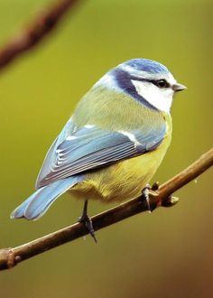 Blue Tit by Anne Macdonald