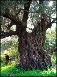 2000 year old Olive Tree in Ithaka a Greek island located in the Ionian Sea. All Nature, Nature Tree, Amazing Nature, Trees And Shrubs, Trees To Plant, Weird Trees, Unique Trees, Old Trees, Tree Trunks