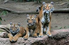 Triple trouble, Malayan Tigers