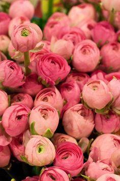 Peonies or ranunculus My Flower, Fresh Flowers, Pink Flowers, Beautiful Flowers, Pink Roses, Tea Roses, Cactus Flower, Exotic Flowers, Pink Peonies