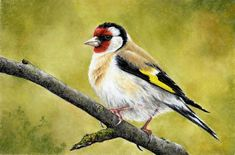 How To Draw This European Goldfinch using Pastel Pencils: http://www.colinbradleyart.co.uk/home/sign-up/
