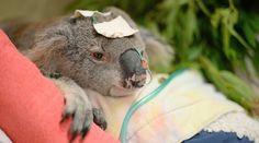 Providing first-class care and rehabilitation for native wildlife since Baby Koala, Koala Bears, Beautiful Creatures, Animals Beautiful, Cute Animals, South Wales, Australian Bush, Quokka, Tier Fotos