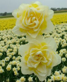 Narcissus Lingerie - Double Narcissi - Narcissi - Flower Bulbs Index