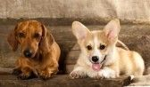 puppy Cardigan Welsh Corgi and dachshund