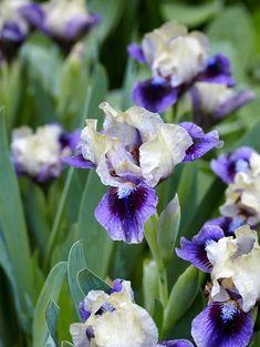How to Grow, Maintain, and Divide Bearded Iris purple and white bearded irises Easy To Grow Flowers, Growing Flowers, Planting Flowers, Flower Gardening, Iris Flowers, White Flowers, Beautiful Flowers, Rare Flowers, Iris Garden
