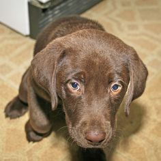 Crate training your Laborador retriever is the easiest way to potty train your puppy while also preventing everything in your home from becoming a chew toy. Making crate training a positive experience for your Lab will have him lounging in his new den in a matter of weeks.