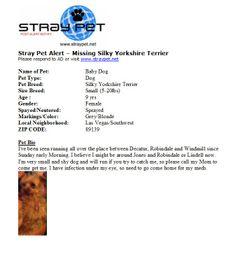 Missing Silky Yorkshire Terrier