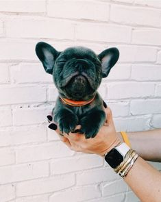 Dog And Puppies Memes .Dog And Puppies Memes Cãezinhos Bulldog, French Bulldog Puppies, Cute Dogs And Puppies, Doggies, Mini French Bulldogs, Cutest Dogs, Cute Little Animals, Cute Funny Animals, Funny Dogs