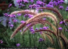 fountain grass -  pennisetum setaceum  - verbena bonariensis