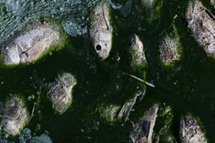 Group of dead fish floating in slimy green water