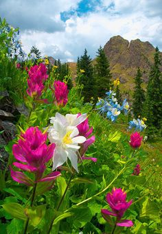 Governor Basin Paintbrush and columbine wildflowers grace a hillside in Governer Basin, a high basin in the San Juan Mountains, Colorado Beautiful World, Beautiful Places, Beautiful Pictures, Colorado Wildflowers, Nature Landscape, Jolie Photo, Nature Scenes, Flower Photos, Nature Pictures