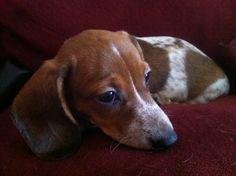 piebald mini dachshund