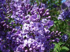 Syringa vulgaris Carpe Diem in pot Grafted for better flowering Purple Home, Purple Lilac, Syringa Vulgaris, Purple Interior, Flowering Shrubs, Carpe Diem, Landscaping Plants, Beautiful Gardens, Flowers