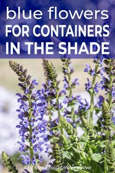 Rectangle Garden Design Container gardening in the shade can be a bit tricky. This list of blue plants for containers in the shade will have the pots on your patio, walkway or porch looking beautiful all summer long. Blue Plants, Tall Plants, Shade Plants, Shade Annuals, Container Plants, Container Gardening, Container Flowers, Gardening For Beginners, Gardening Tips