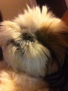 Chrysanthemum dog - this pic shows where the name came from  I love Shih tzus ❤️ Cj