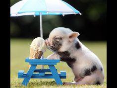Piglet Eating Ice Cream