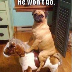 Too funny, I wish my pug sat up like that lol