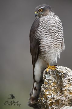 Épervier d'Europe (accipiter nisus) by Marisa Martinez -