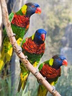 Exotic Birds - Rainbow Loikeets or Coconut Lorikeet - from World Parrot Trust