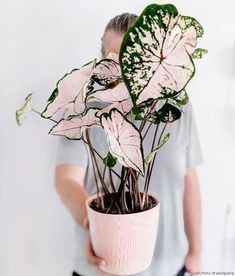 House Plants Decor, Plant Decor, Cool Plants, Green Plants, Indoor Tropical Plants, Decoration Plante, Pink Plant, Pot Plante, Pink Leaves