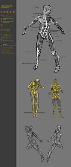 Skeleton-Muscular Study 38CW by JustIRaziel.deviantart.com on @deviantART