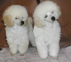 poodles | Previously Sold Puppies