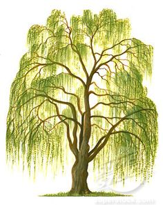 Weeping willow.  Want this tattooed in commemoration of all the people i've lost over the years.
