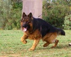 """Képtalálat a következőre: """"german shepherd"""""""