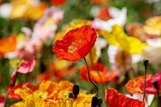 poppy by freya7