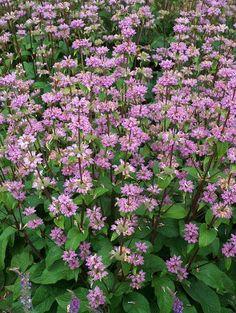 "Phlomis cashmeriana ""Kashmir Sage"" Sage Plant, Herbaceous Perennials, Salvia, Garden Inspiration, Beautiful Gardens, Shrubs, Landscape, Flowers, Plants"
