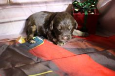 All our puppies come with a two year health guarantee, micro-chipped, dew clawed, all shots and wormings for their age. Woody, Doodles, Nursery, Puppies, Mini, Dogs, Animals, Animais, Animales
