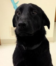 **ENZO - ex prison - Labrador Retriever Mix** • Adult • Male • Large Humane Society of Madison County West Jefferson, OH ~LK~  Spread the word - October is ADOPT-A-SHELTER DOG Month!  Humane Society of Madison County 2020 Plain City-Georgesville Rd West Jefferson, OH 43162 614-879-8368