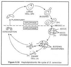Spirogyra- http://www.biologydiscussion.com/spirogyra ...